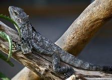 收缩3褶边的蜥蜴 免版税库存图片
