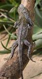 收缩2褶边的蜥蜴 库存照片