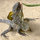 收缩4褶边的蜥蜴 免版税库存照片