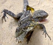收缩5褶边的蜥蜴 免版税库存图片