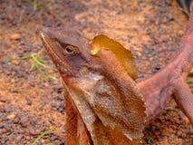 收缩frilled的蜥蜴 免版税库存照片