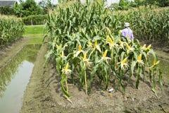 收获从农业玉米种植园的泰国工作者农夫玉米 库存图片