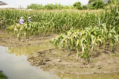 收获从农业玉米种植园的泰国工作者农夫玉米 免版税库存照片