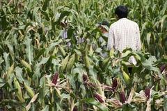 收获从农业玉米种植园的泰国工作者农夫玉米 图库摄影
