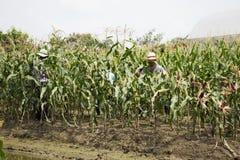 收获从农业玉米种植园的泰国工作者农夫玉米 免版税库存图片