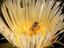 收获从开花的花的蜂花粉 图库摄影