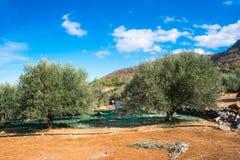 收获从橄榄树的领域的农业学家的新鲜的橄榄额外处女橄榄油产品的 免版税库存照片
