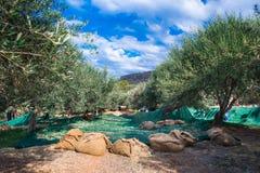 收获从橄榄树的领域的农业学家的新鲜的橄榄额外处女橄榄油产品的 库存图片