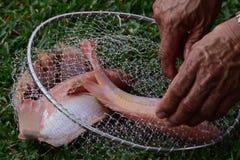 收获农场晚餐的被养的罗非鱼鱼 库存图片