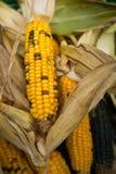 收获印地安黄色玉米 库存图片