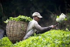 收获叶子茶工作者 库存照片