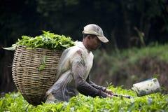 收获叶子茶工作者 免版税库存图片