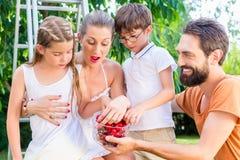 收获和吃樱桃的家庭在庭院里 图库摄影