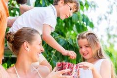 收获和吃樱桃的家庭在庭院里 免版税库存图片