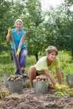 收获土豆的妇女 免版税库存照片