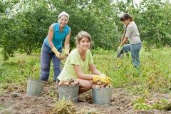 收获土豆的妇女 库存照片