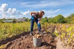 收获土豆的少妇 免版税图库摄影