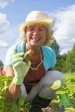 收获土豆的愉快的资深妇女在庭院里 免版税图库摄影