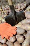 收获土豆 免版税库存照片