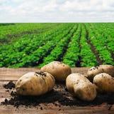 收获在地面上的土豆 免版税库存图片