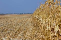 收获在明亮的蓝天背景的成熟黄色玉米  库存照片