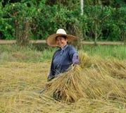 收获在米领域的农夫米 免版税库存图片