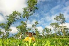 收获在茶庄稼的女性农夫茶叶 免版税库存图片