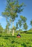 收获在茶庄稼风景的女性农夫 库存照片