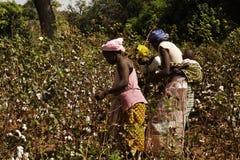 收获在领域的三个非洲人妇女一些棉花 免版税库存图片