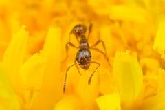 收获在黄色花的红色蚂蚁花粉 免版税库存照片
