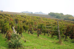 收获在Pavese 10月Oltrepo 库存照片