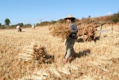 收获在Pindaya乡下的农夫麦子  免版税库存图片