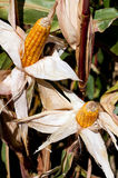 收获季节玉米 库存照片