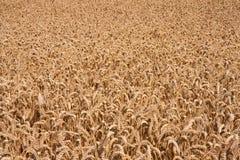 收获富有的成熟麦子 库存图片