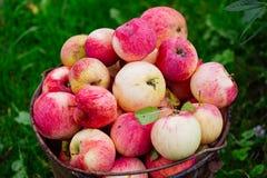 收获成熟苹果在庭院里 免版税图库摄影