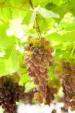 收获成熟葡萄在泰国 免版税库存图片