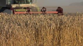 收获成熟谷物耳朵的被弄脏的农厂组合脱粒机在农田里 在植物的焦点 4K 影视素材