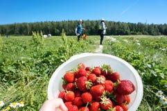 收获新鲜的有机草莓在夏天 库存图片