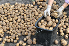 收获有机土豆的农夫 库存照片