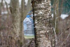 收获树汁的桦树 免版税库存图片