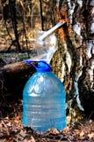 收获树汁的桦树 图库摄影