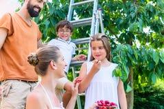 收获樱桃的家庭在庭院里 图库摄影