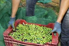 收获橄榄在西班牙 免版税库存照片