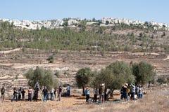 收获橄榄巴勒斯坦 库存照片