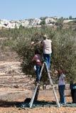 收获橄榄巴勒斯坦 免版税库存图片