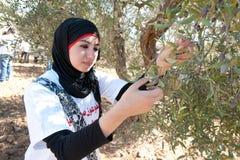 收获橄榄巴勒斯坦 库存图片