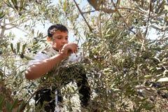 收获橄榄巴勒斯坦 图库摄影