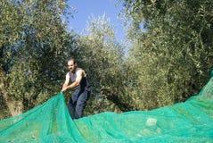收获橄榄 免版税库存照片