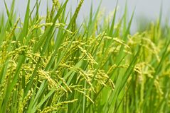 收获水稻 免版税图库摄影