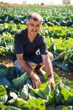 收获沙拉圆白菜菜的观点的一个中年人自温室 农业 免版税库存照片